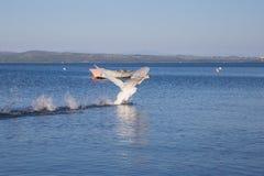 Oiseau sur le rivage du lac Bracciano Image libre de droits