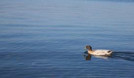 Oiseau sur le rivage du lac Bracciano Image stock