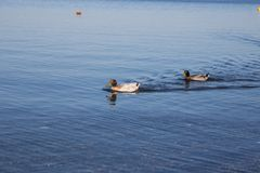 Oiseau sur le rivage du lac Bracciano Images libres de droits
