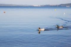 Oiseau sur le rivage du lac Bracciano Photographie stock libre de droits