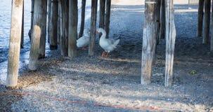 Oiseau sur le rivage du lac Bracciano Photographie stock