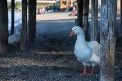 Oiseau sur le rivage du lac Bracciano Photo libre de droits