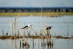 Oiseau sur un lac Photographie stock libre de droits