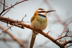 Oiseau sur une branche - mangeur d'abeille Blanc-throated image stock