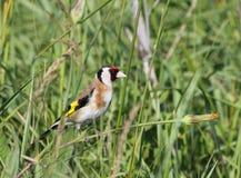 Oiseau sur une herbe Photographie stock libre de droits