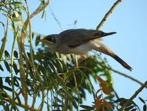oiseau throated jaune de mineur regardant pour le danger images stock