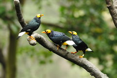 Oiseau --- trois jaune-ont fait face à Mynah Photos stock