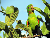 Oiseau tropical Photo stock