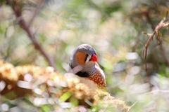 Oiseau tropical de pinson de zèbre avec les clavettes colorées Photographie stock libre de droits