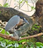 Oiseau tropical sérieux Photo stock