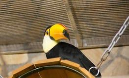 Oiseau tukan dans le zoo, en captivité Un oiseau avec un grand bec jaune lumineux Photographie stock