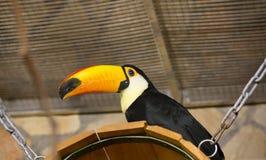 Oiseau tukan dans le zoo, en captivité Un oiseau avec un grand bec jaune lumineux Photo stock