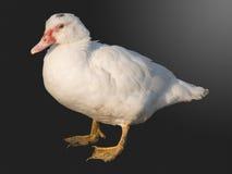 Oiseau un canard de maison photographie stock libre de droits