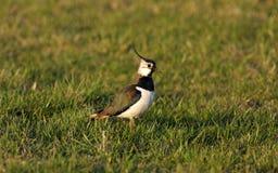 Oiseau - vanneau huppé Image stock