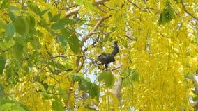 oiseau Vert-affiché de Malkoha sur l'arbre banque de vidéos