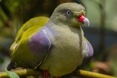 Oiseau vert africain de pigeon Photos stock