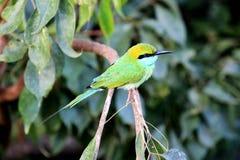 Oiseau vert d'abeille-mangeur en parc national de Yala Photo stock