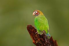 Oiseau vert d'Amérique Centrale perroquet Brown-à capuchon, haematotis de Pionopsitta, perroquet vert clair de portrait avec la t Images stock