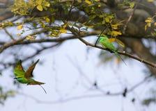 Oiseau vert de beaeater photo stock