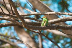 Oiseau vert de beaeater dans les branches Photo libre de droits