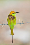 Oiseau vert de bee-eater Photo stock
