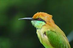 Oiseau vert de bee-eater de Thaïlande photographie stock