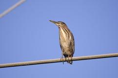 Oiseau vert de héron, virescens de Butorides, la Géorgie Etats-Unis Photographie stock libre de droits