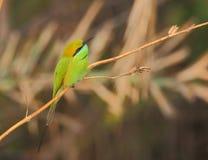 Oiseau vert de mangeur d'abeille Photo stock