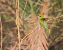 Oiseau vert de mangeur d'abeille Photo libre de droits