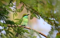 Oiseau vert de mangeur d'abeille photographie stock