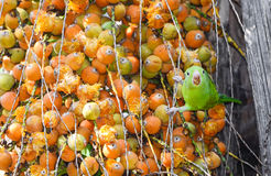 Oiseau vert de Maritaca mangeant quelques mini noix de coco photographie stock