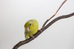 Oiseau vert en pastel de Forpus Images libres de droits