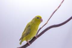 Oiseau vert en pastel de Forpus Photos libres de droits