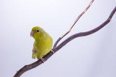 Oiseau vert en pastel de Forpus Photo stock