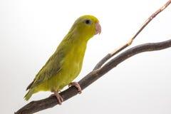 Oiseau vert en pastel de Forpus Images stock