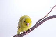 Oiseau vert en pastel de Forpus photographie stock