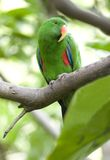 Oiseau vert mâle de perroquet de perroquet d'Eclectus, Indonésie Photographie stock libre de droits