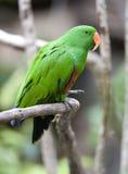 Oiseau vert mâle de perroquet de perroquet d'Eclectus, Indonésie Photo stock