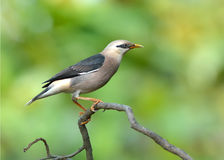 Oiseau (vinicole - étourneau breasted), Thaïlande Photos stock