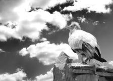 Oiseau vulturin sur la roche Concepts de la liberté et de la force Rebecca 36 Images stock