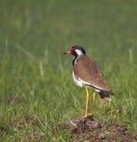 Oiseau wattled rouge de vanneau Photo stock