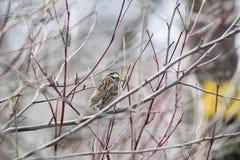 Oiseau (Bruant À Gorge Blanche) 014 Stock Image