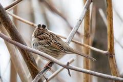 Oiseau (Bruant À Gorge Blanche) 015 Royalty Free Stock Photo