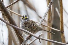 Oiseau (Bruant À Gorge Blanche) 018 Royalty Free Stock Photos