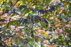 Oiseau (Bruant À Gorge Blanche) 021 Royalty Free Stock Photos
