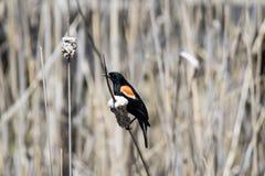 Oiseau (Carouge À Épaulettes) 161 Royalty Free Stock Photos