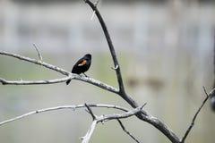 Oiseau (Carouge À Épaulettes) 173 Stock Images