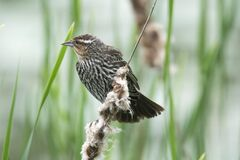 Oiseau (Carouge À Épaulettes) 245 Royalty Free Stock Image
