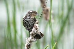 Oiseau (Carouge À Épaulettes) 247 Stock Image