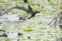 Oiseau (Carouge À Épaulettes) 256 Royalty Free Stock Images